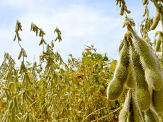 Com quebra de 70% nas áreas de soja precoce, produtores acionam seguro em Cristal (RS)