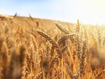 Cultura do trigo será avaliada no Monitor do Seguro Rural