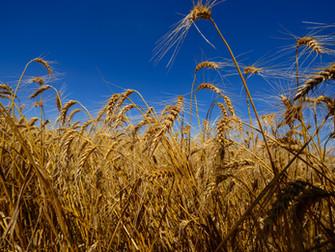 Falta de chuvas é o maior problema do trigo