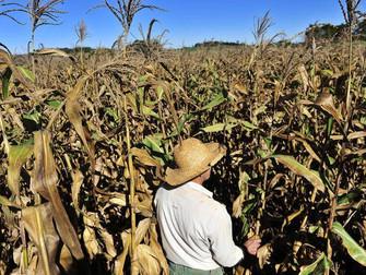 Mais de 1,1 mil produtores do RS já acionaram Proagro por perdas com milho