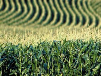Como minimizar seca e geada no milho