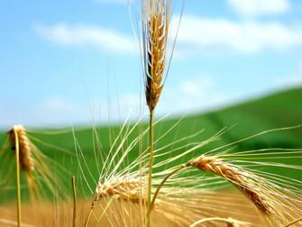 Safra registra quebra de 20% na produção de trigo no PR