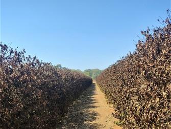 Efeito do frio: Emater arcará com laudos para pequenos produtores afetados por geadas