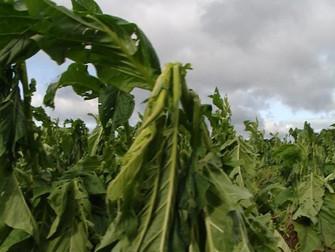 Chuva de granizo causa prejuízos a mais de 10 mil produtores de fumo no Sul do país