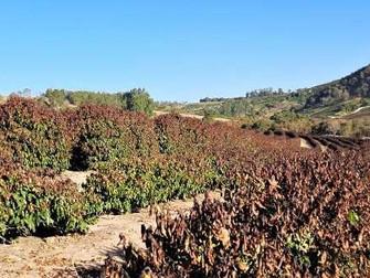 Geada em Minas Gerais afetou 156,3 mil hectares de café, aponta Emater-MG
