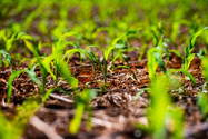 Chuvas mudam de direção e safrinha do Sul corre sério risco; na Bahia umidade melhora as sementeiras