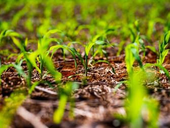 Perdas no milho serão superiores a 20%, diz Aprosoja
