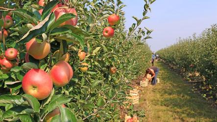 Zoneamento agrícola para a cultura de maçã está disponível para todo o país