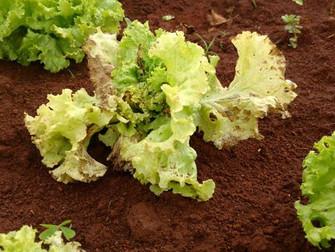 Seca prejudica produção de hortaliças em SP