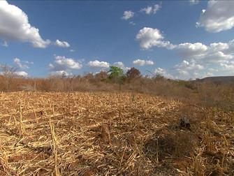 Seca histórica no Nordeste castiga plantações e criações de gado