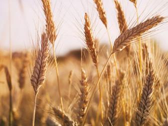 Seguros agrícolas para culturas de inverno serão avaliados em videoconferência do Mapa