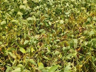Falta de chuvas gera prejuízos de até 10% na produção de soja em Primavera do Leste (MT)