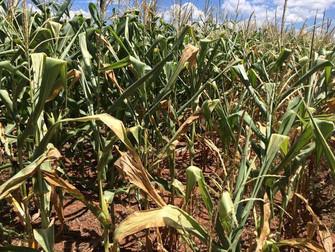 Seca causa prejuízos nas lavouras de milho em Mato Grosso do Sul