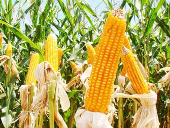 Milho: estiagem em MS pode frustrar expectativa de supersafra na colheita