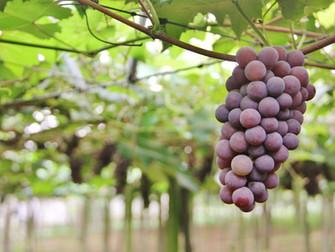 Emater-RS estima produção de frutas 20% menor no ciclo 2017/18