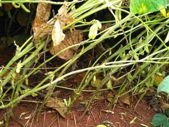 Continuidade das chuvas pode agravar queda de vagens na soja