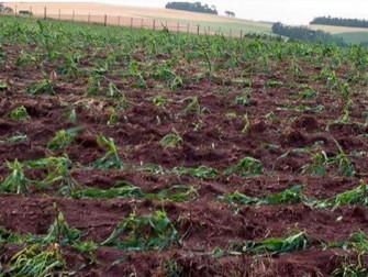 Chuva de granizo afeta plantações de milho no RS