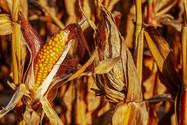 Seca causa perdas irreversíveis na safra de grãos do Brasil