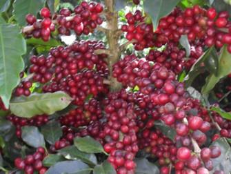 Ferramentas podem diminuir riscos da cafeicultura