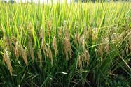 Zarc para arroz tropical irrigado traz nova perspectiva para o seguro agrícola