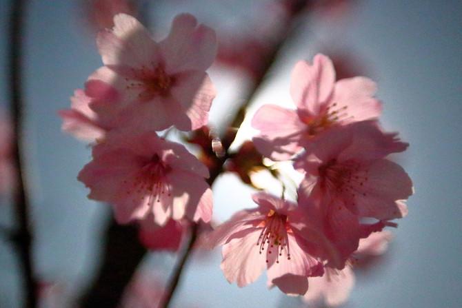 月光が透ける桜の花びら