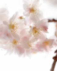 Миндальное дерево Цветы 2014-8-22-10:30: