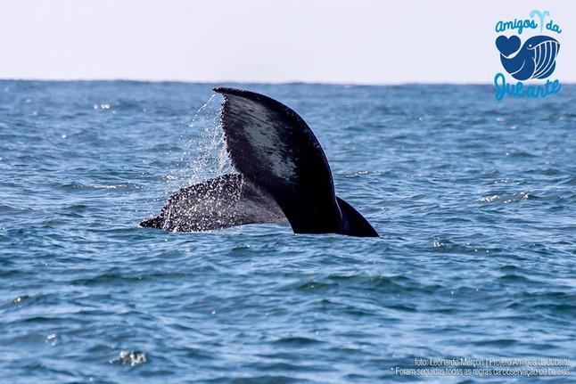 """Expedição """"Amigos da Jubarte"""": Safári natural de Baleias"""
