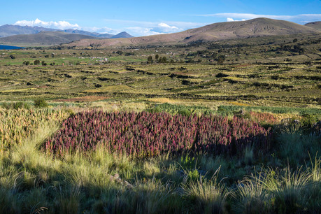 Experiencing the Quinoa Heartland of Peru: Communal Fields, Enterprising Farmers, and Biodiversity U