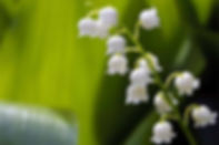 Lily-of-the-Valley-Right-Up-My-Alley.jpg