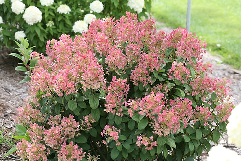 Little Quick Fire® Hydrangea   2G