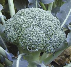 BROCCOLI  LIEUTENANT  Box of 8 Plants