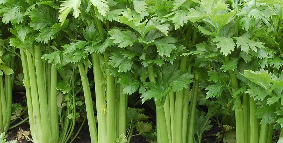 CELERY  TANGO   Box with 8 Plants