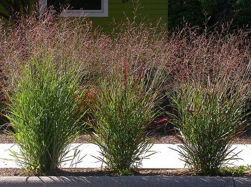 Shenandoah Switch Grass   2gal