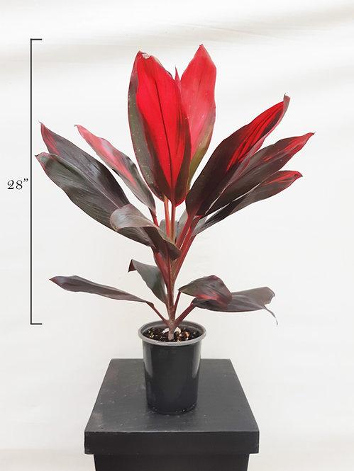 Cordyline Floradus