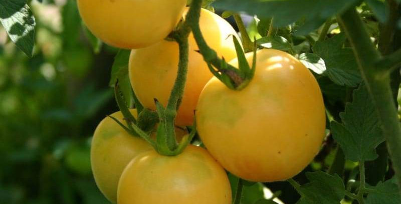 Wapsinion Peach Tomato