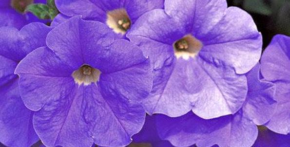 Petunia Surfinia® Sky Blue