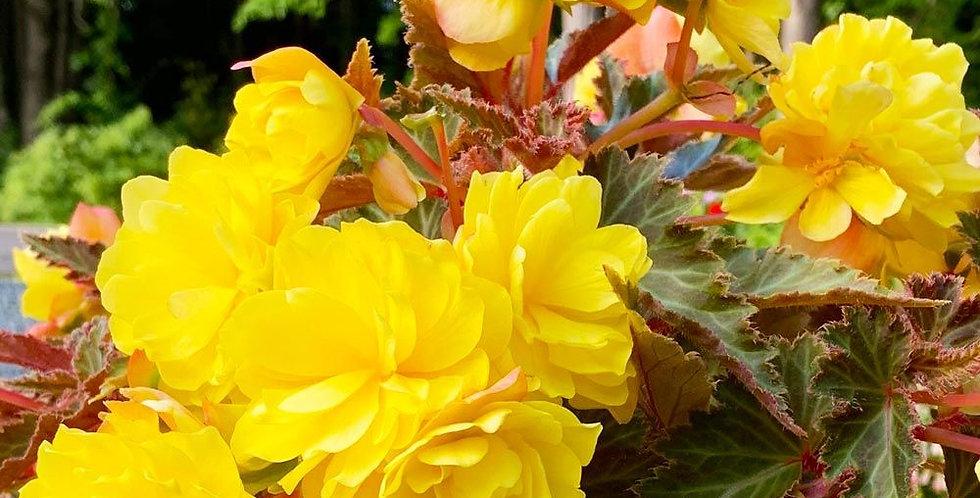 Begonia I'Conia®Portofino Yellow