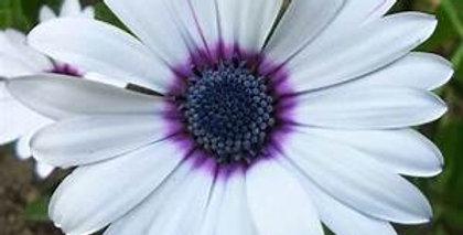 Osteospermum Cape Daisy White
