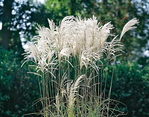 Graziella Maiden Grass   2gal