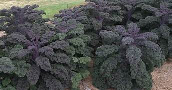 KALE  REDBOR   Box with 8 Plants