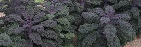 KALE  REDBOR   Box with 8 Plants