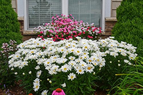 Daisy May® Shasta Daisy Leucanthemum