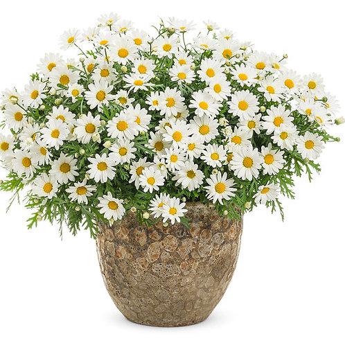 Pure White Butterfly® Marguerite Daisy Argyranthemum frutescens