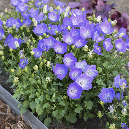 Rapido Blue Bellflower   1gal