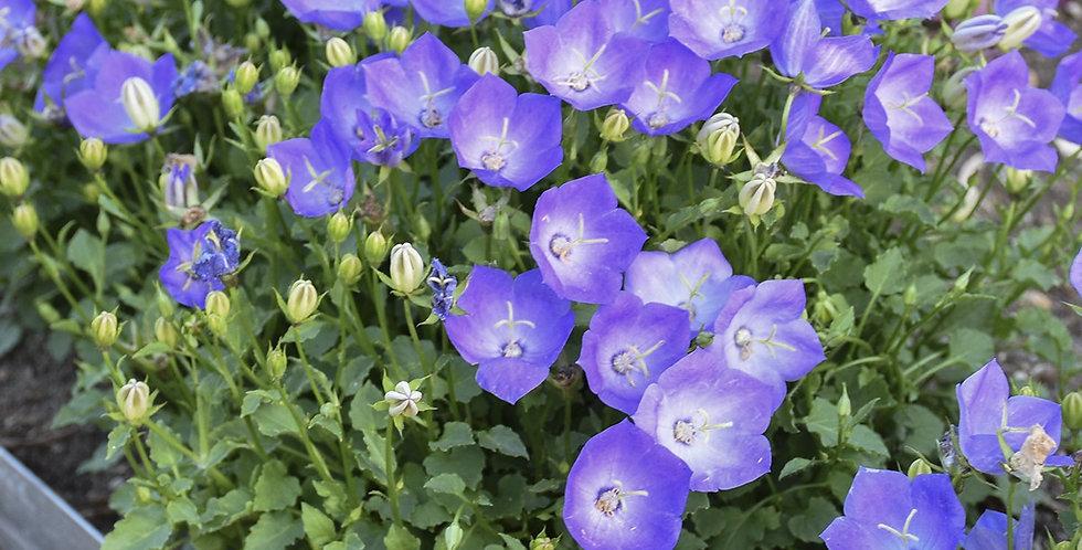 Rapido Blue Bellflower   1gal