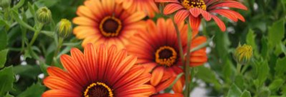 Osteospermum Cape Daisy Orange