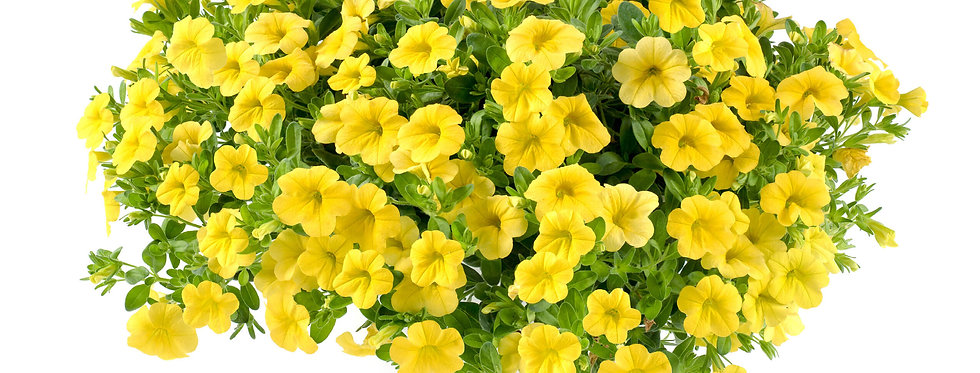 Calibrachoa LIA™ Yellow