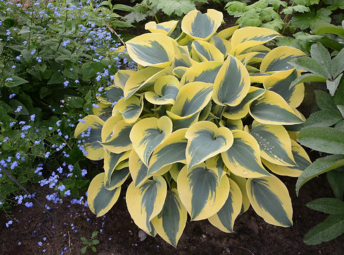 Shadowland® 'Autumn Frost' Hosta hybrid