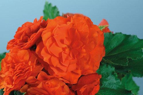 Begonia Nonstop® Orange
