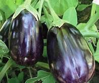 EGGPLANT   BLACK BEAUTY   Box with 8 Plants